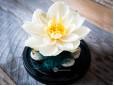 Cupola Lotus Criogenat