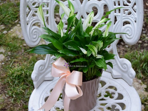 Spathiphyllum in ghiveci